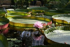 Bergiuse botaanikaaias - vesiroosi aias.