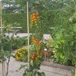 Korrapärased tomatid