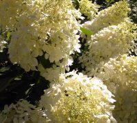 adeli-lilled