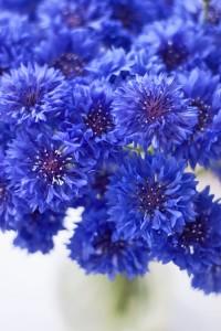 Blue-cornflowers-Flowerona-2